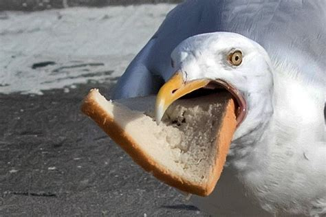 greedy seagull impales bread on its beak during epic fight