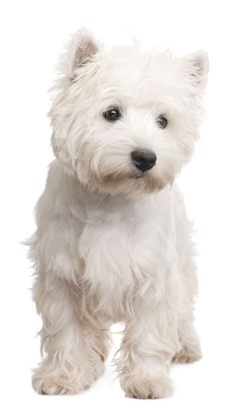 images of westie hair cuts 11 cute westie haircuts best 20 dog haircuts ideas on