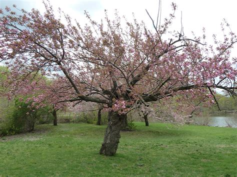 a cherry tree cherry tree the traveling naturalist