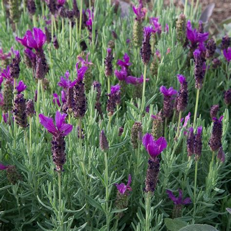 lavander javelin forte deep purple  pot