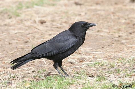 american crow photos photographs pictures