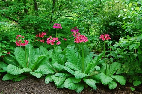 Away To Garden by A Plant I D Order Primula Japonica A Way To Garden
