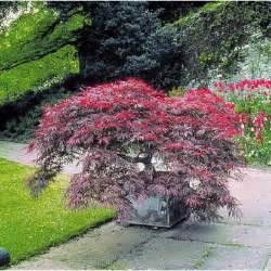 erable pourpre du japon achat vente arbre buisson