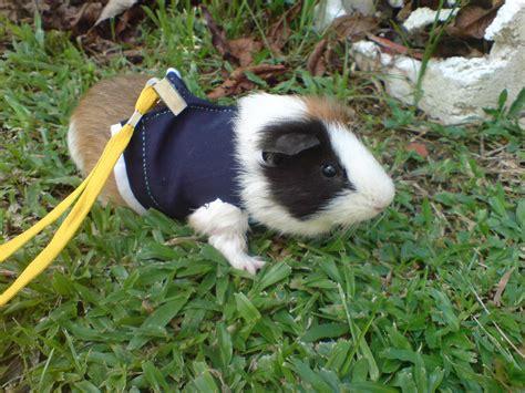 Cmon Ladiesbe Pigs by Piggy Guinea Pigs Photo 7152659 Fanpop