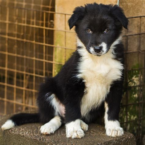 sheepdog puppy black sheepdog puppy www imgkid the image kid has it