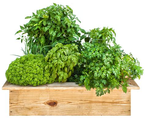 herb garden plants benefits of herb garden plants margarite gardens
