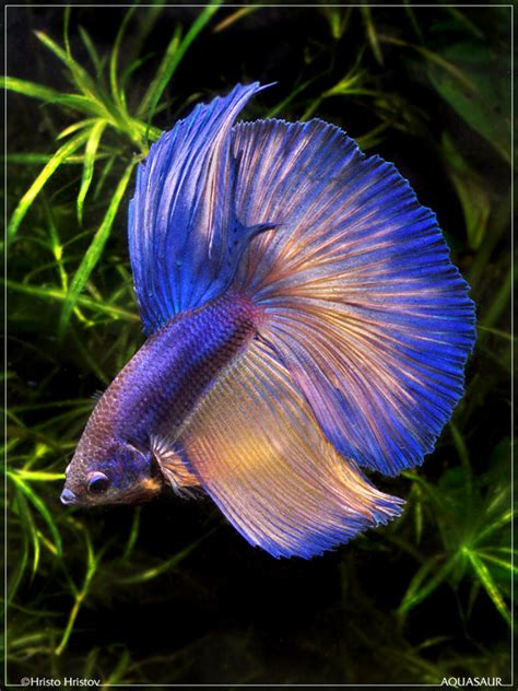 Betta Gold Size S betta fish pictures p b t