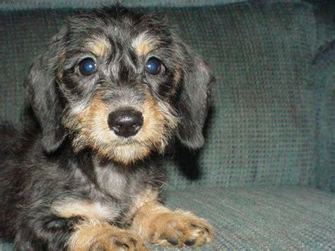 miniature haired dachshund puppies purebred dachshund puppies for sale find a purebred breeder near you