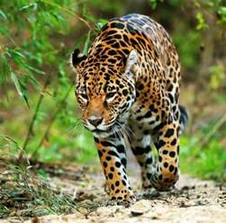 Jaguar Threats Biodiversity Within Protected Tropical Forests Threatened