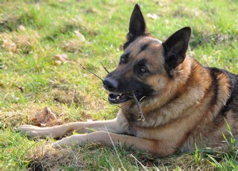 do german shepherds shed do german shepherds shed canna pet 174
