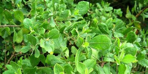 Jual Daun Beluntas Segar Kaskus thread kaskus terbaru tanaman liar indonesia ini