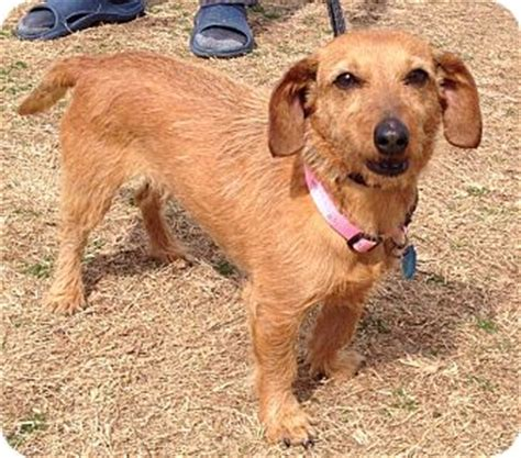 yorkie house cleveland tn adopted cleveland tn dachshund chihuahua mix