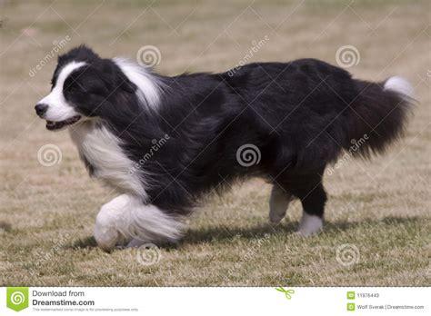 imagenes a blanco y negro de perros perro peludo blanco y negro imagen de archivo imagen