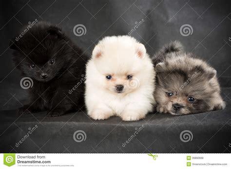 gray pomeranian puppies pomeranian puppy stock photo image 39890668