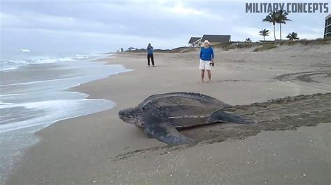 Largest Beach In The World world s largest sea turtle giant leatherback sea turtle