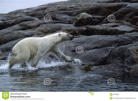 polar stock image image of arctic animal canada 6246955