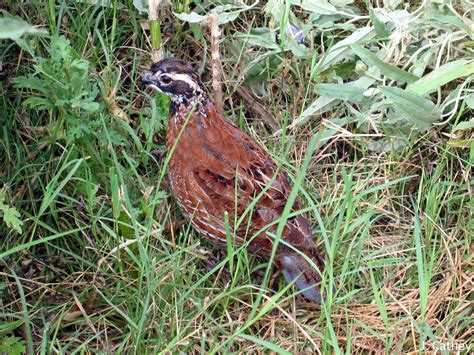 texas quail youth page agrilife extension wildlife