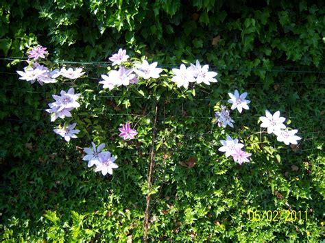 Multi Blue Clematis 1111 by Clematis Jm S Garden