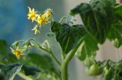Toato Flower Top new way in which plants flower production sciencedaily