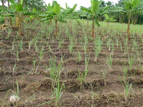 menanam serai hidroponik cara menanam serai tanamanbaru
