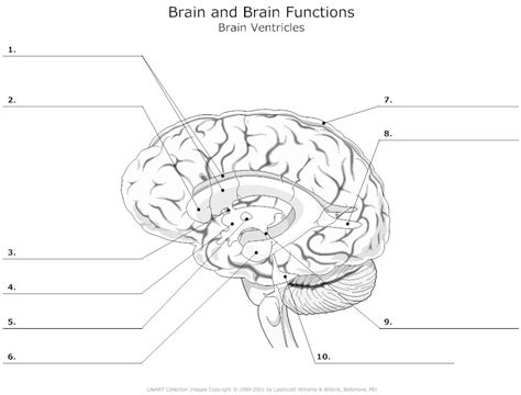 Brain Labeling Worksheet brain ventricles unlabeled neuroanatomy brain