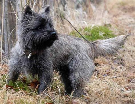 list of all breeds terriers list of all terrier breeds k9 research lab breeds picture
