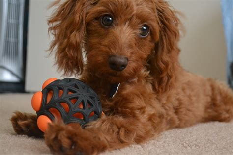 doxie doodle puppies for sale doxiepoo