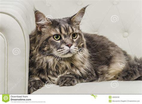 peli sul sedere disposizione dei posti a sedere gatto di maine coon