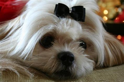 shichon haircuts 133 best images about shih poo s shih tzu s and teddy