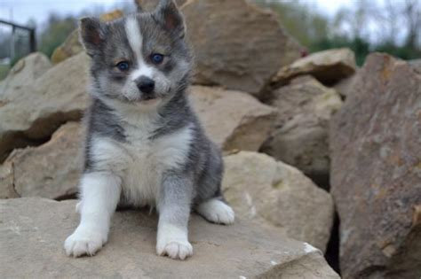 puppies for sale in ohio pomsky puppies for sale in nebraska breeds picture