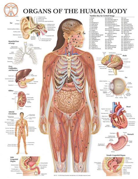organs of the human diagram diagram of the human organs anatomy pictures