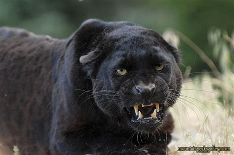 Black Leopard animals of montana inc black leopard