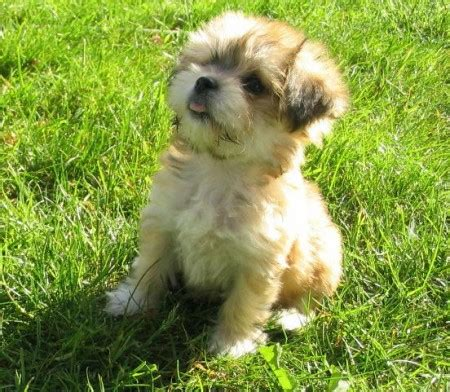 best small for no shedding best small dogs for non shedding pet photos gallery g6kromw2ox