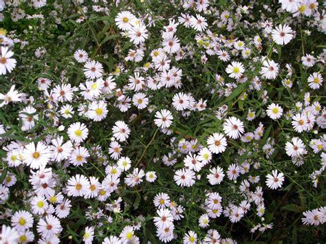 aste banche fotos de flores de 225 ster