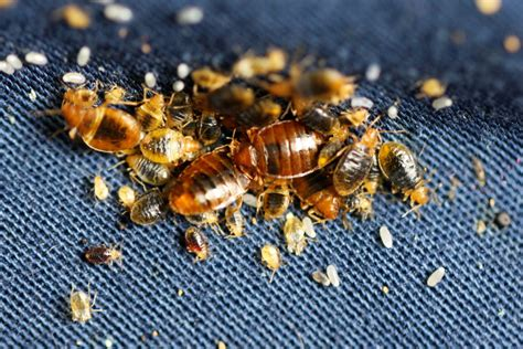 what do bed bugs do visual bed bug inspection what do bed bugs look like