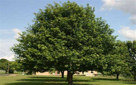 Citrus Tree Nursery by Laurel Oak Tree For Sale North Fort Myers