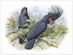 black palm cockatoo new hd wallpapers 2013 top hd