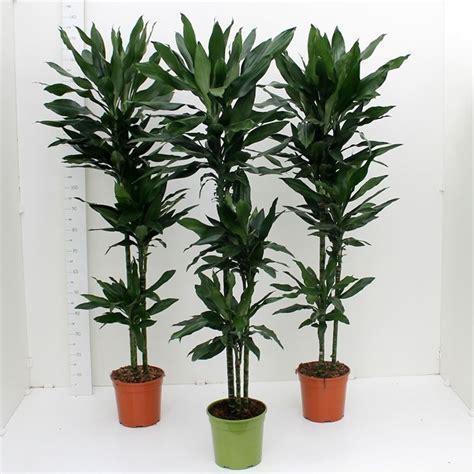 piante da appartamento cura dracena marginata dracaena marginata piante
