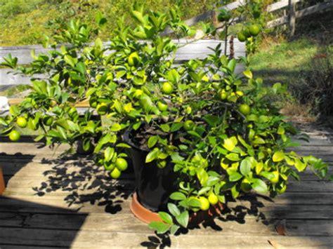 patio lemon tree citrus tree care