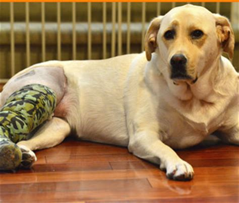 cruciate ligament tear in dogs cruciate ligament injury in dogs what you need to