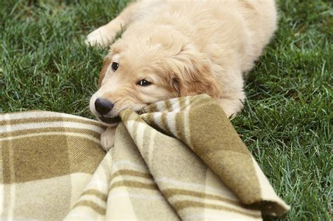 When To Expect Your Puppy To Stop And Start Teething