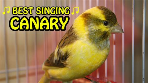 canary singing birds sounds at its best melodies canary