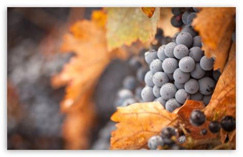 grapes  hd desktop wallpaper   ultra hd tv dual