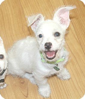 Do West Highland Terriers Shed by Melody I Do Not Shed Adopted Puppy Temecula Ca