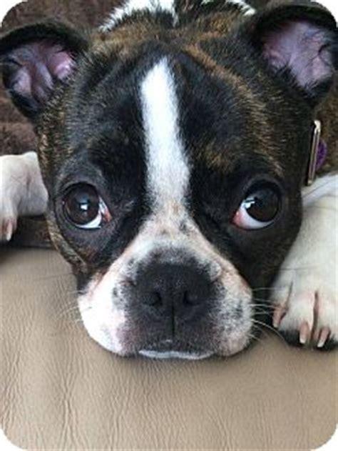 pug adoption ohio toledo oh boston terrier pug mix meet josie a for adoption