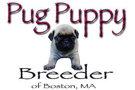 pug breeders in massachusetts pug puppy for sale in ma breeds picture