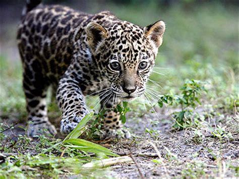 jaguar kitten jaguar kitten carnivaww