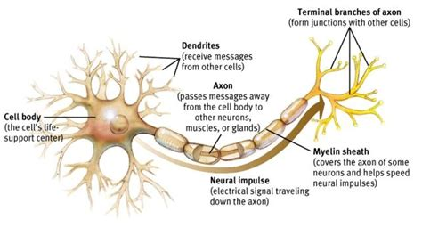 neuron diagram and functions neuron diagram labeled neuron get free image about