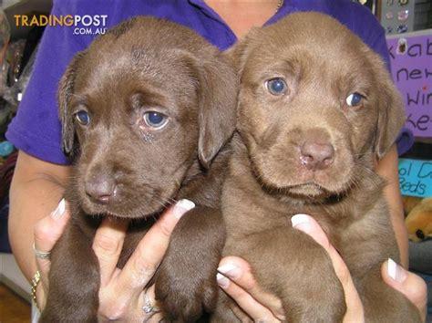 golden retriever puppies for sale queensland labrador pups for sale queensland photo