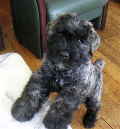 bouvier puppy best 25 bouvier des flandres ideas on mop australian labradoodle and